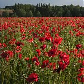 Armistice day - Field of poppies